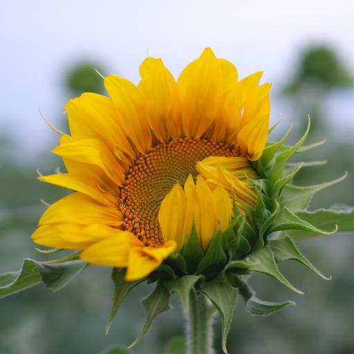 向日葵 鲜花 盛开 枝干 花瓣