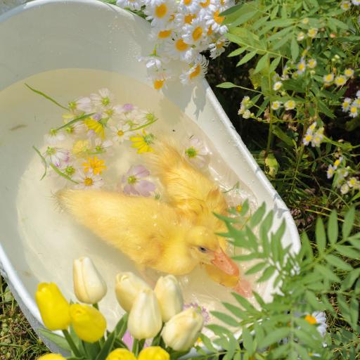 小鸭子 竹篮 牲畜 家禽 宠物 可爱 鲜花