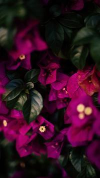 植株 勒杜鹃 三角梅 鲜花
