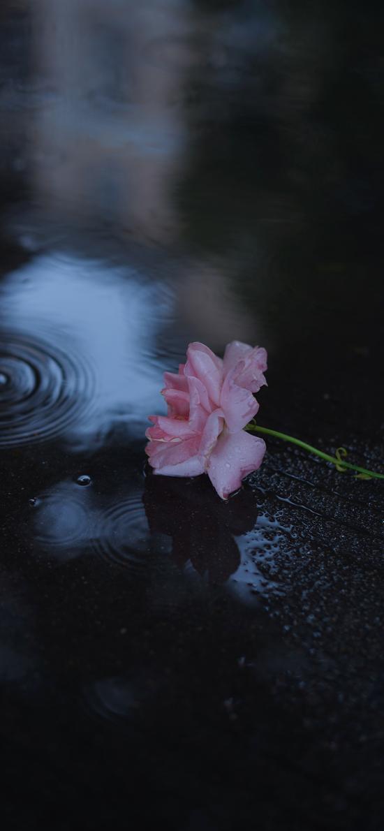 玫瑰 鲜花 水滴 积水 地面