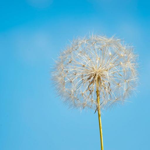 花伞 种子 蒲公英 蓝天