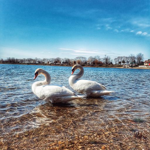 天鹅 湖水 清澈 水禽