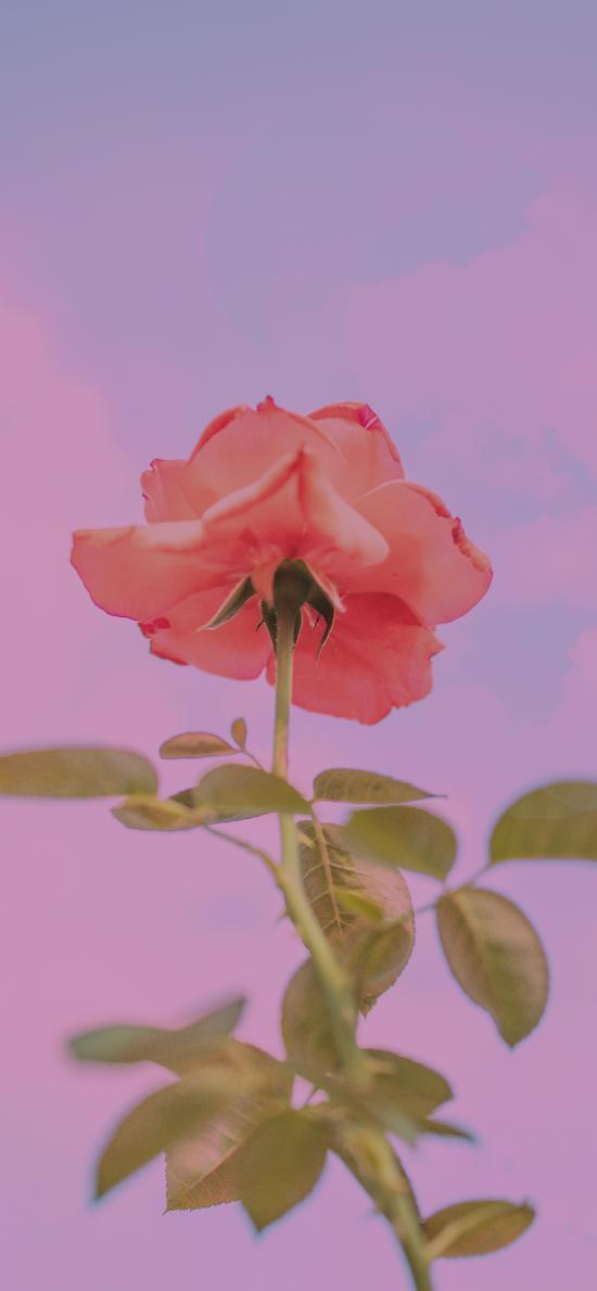 玫瑰 鲜花 盛开 枝叶