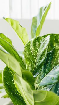 枝叶 绿叶 观赏性 绿植 水珠