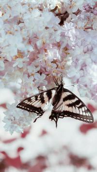 飞蛾 花季 樱花 盛开