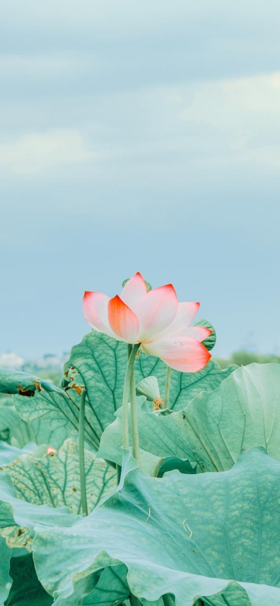 荷花 鲜花 盛开 荷叶 荷塘 莲