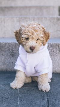 小狗 宠物 可爱 衣服 乖巧