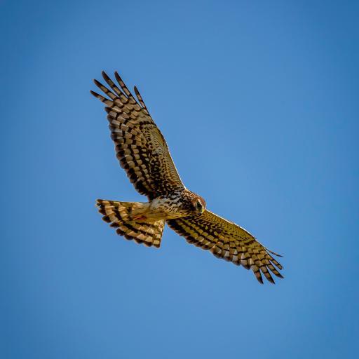 飞鸟 老鹰 飞翔 展翅高飞 蓝天