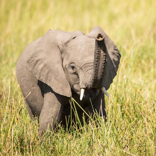 大象 草坪 象牙 小象