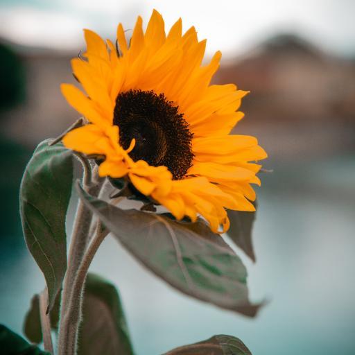 葵花 向日葵 花盘 枝叶