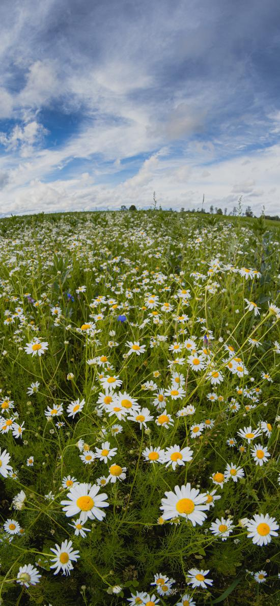 雏菊 鲜花 盛开 花季 花圃