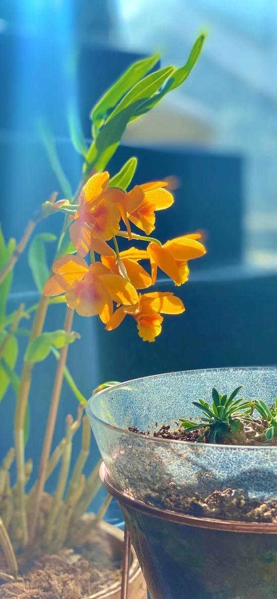 盆栽 鲜花 鼓槌石斛 黄色