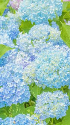 紫阳花 鲜花 盛开 蓝色 绣球花