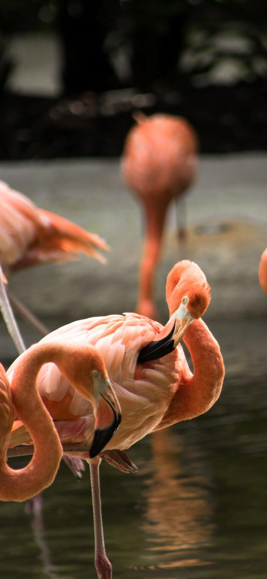 沼泽 火烈鸟 羽毛 红色 候鸟