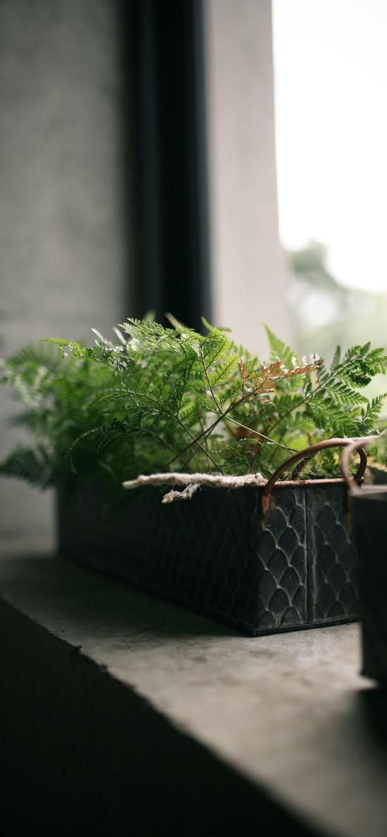 盆栽 家居 绿化 蕨类植物
