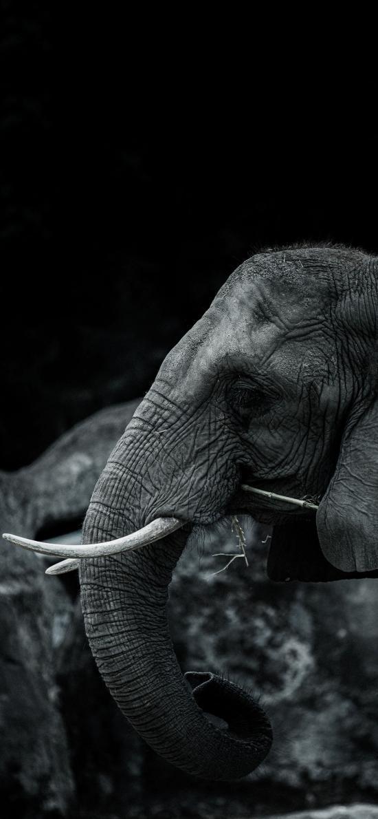 大象 群居 黑白 象牙