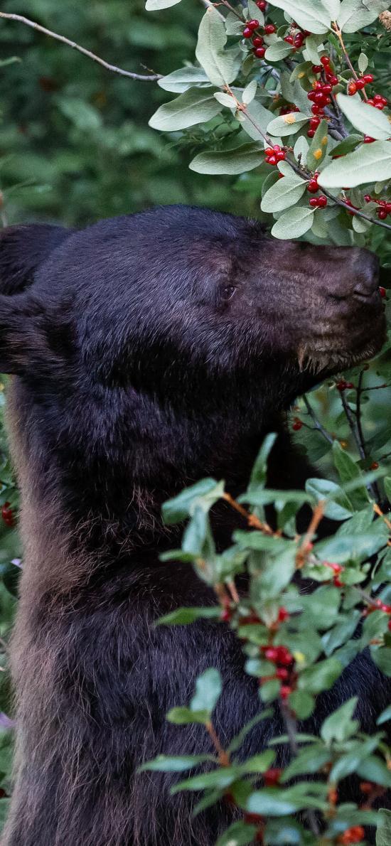 郊外 植株 黑熊 狗熊