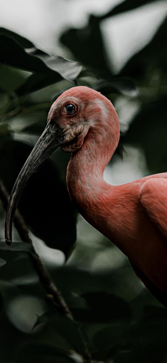 候鸟 火烈鸟 红色羽毛