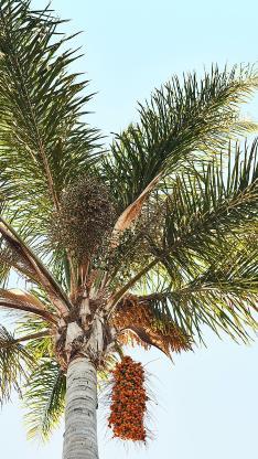 树木 椰树 挂果 天空