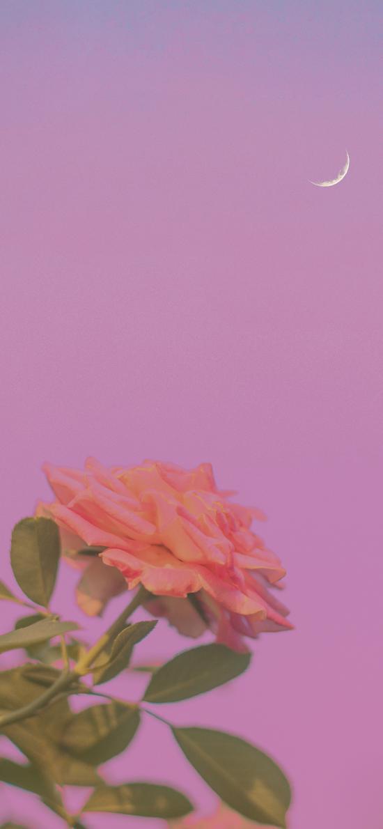 玫瑰 鲜花 粉色 月亮 盛开 枝叶