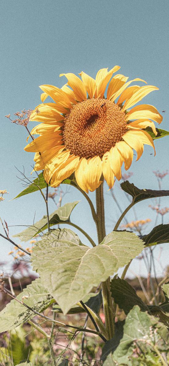葵花 向日葵 鲜花 花盘