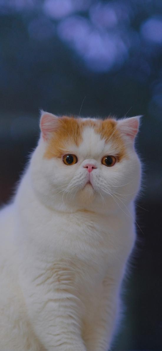 三宝猪猪 猫咪 宠物 网红猫 可爱
