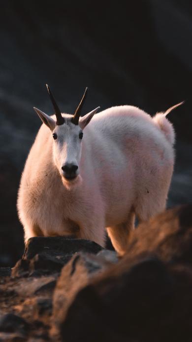 郊外 雪羊 白色毛发 羊角