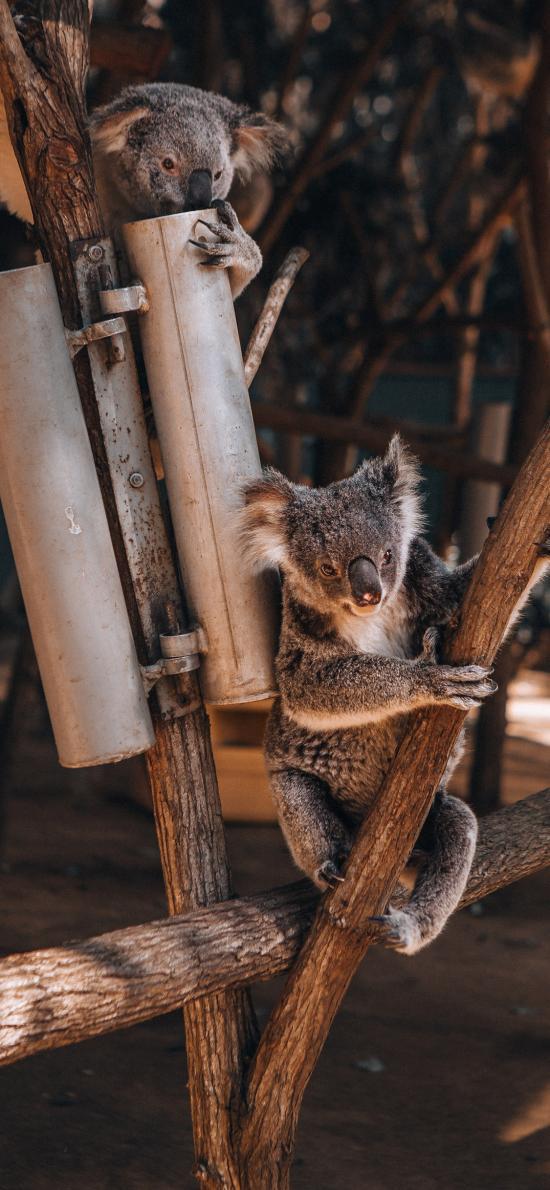 考拉 树桩 树干 树袋熊