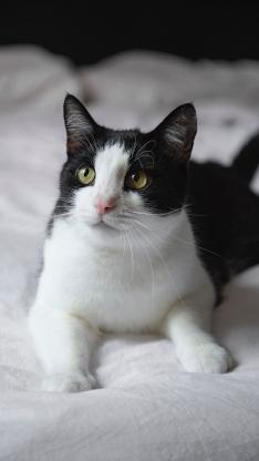 猫咪 宠物 黑白 乖巧