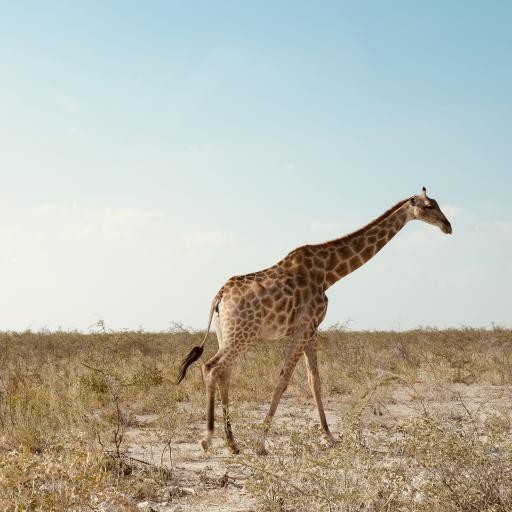 长颈鹿 野生 荒原 斑纹