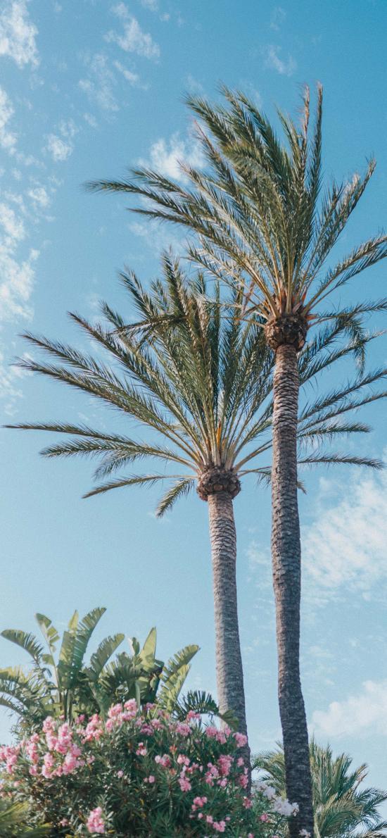 椰树 天空 椰树王 美观