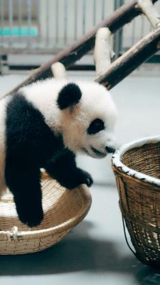 中国国宝 熊猫 黑白 可爱