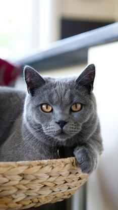 蓝猫 宠物 饲养 猫咪