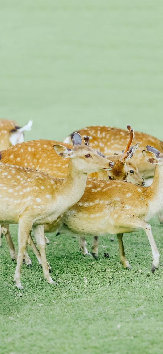 梅花鹿 草坪 养殖 群落 牲畜