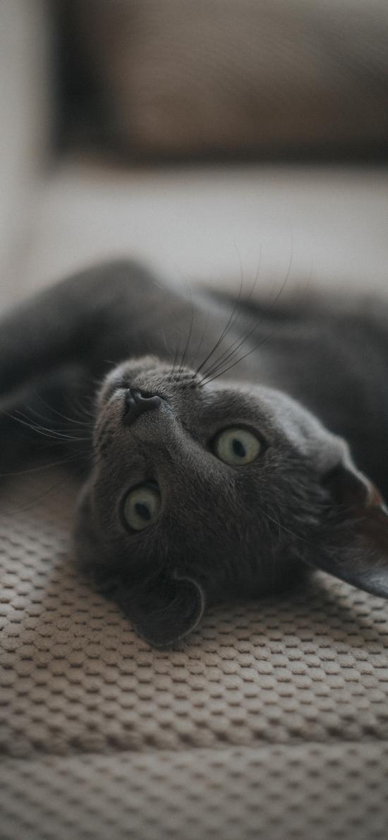 宠物 猫咪 蓝猫 灰色
