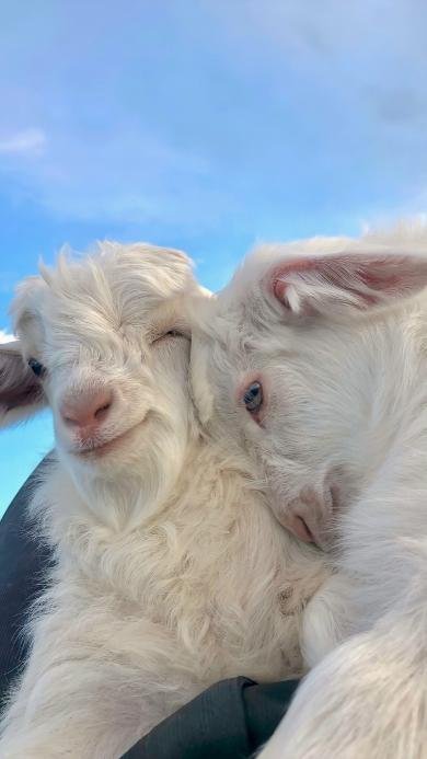 羊 毛发 牲畜 小羊 可爱