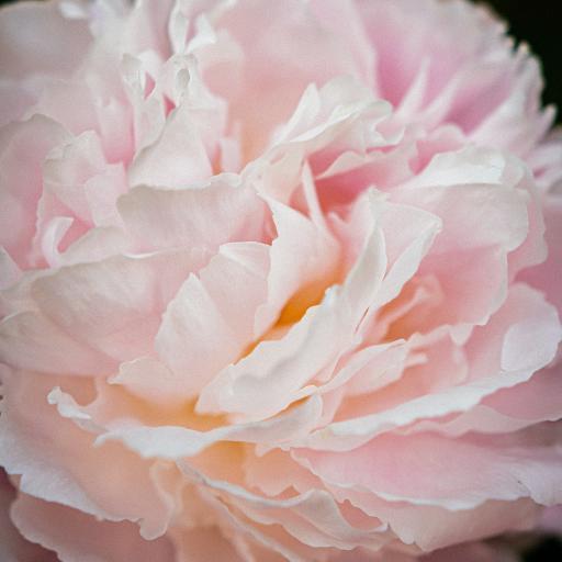 鲜花 花朵 花瓣 层叠