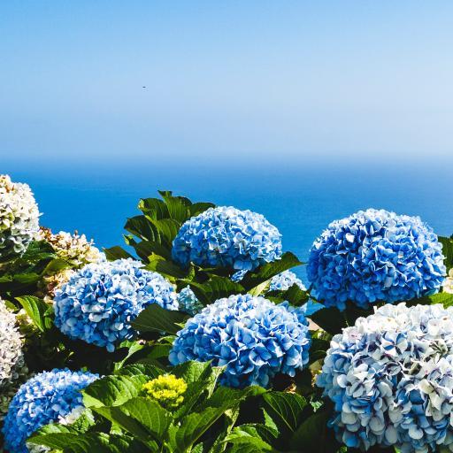绣球花 鲜花 紫阳花 盛开 叶子