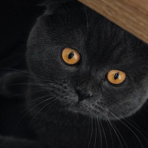 英国短毛猫 喵星人 宠物 灰色 可爱