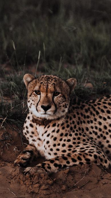 猎豹 包子 猛兽 凶猛 豹纹