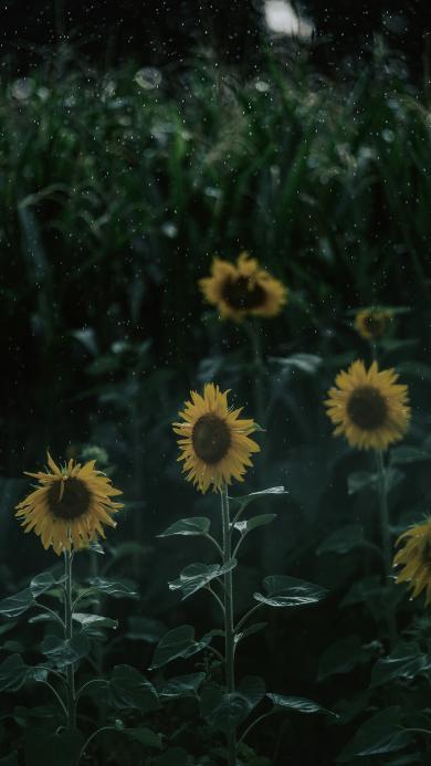 向日葵 鲜花 盛开 枝叶 绿色
