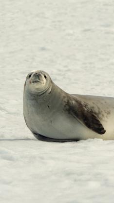海豹 海洋生物 雪地 慵懒