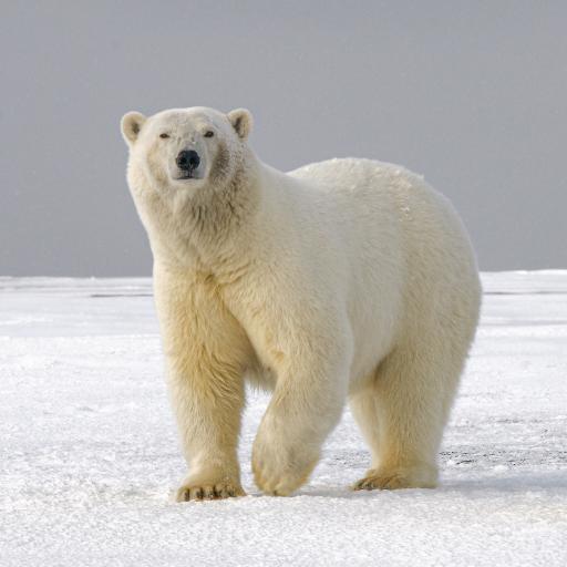 北极熊 雪地 白色 皮毛