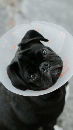 宠物狗 巴哥犬 黑色 大眼睛