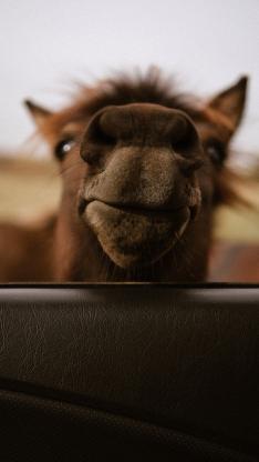 车窗 骆驼 鼻子 特写