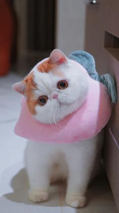红小胖snoopy 网红猫 猫咪 喵星人 宠物