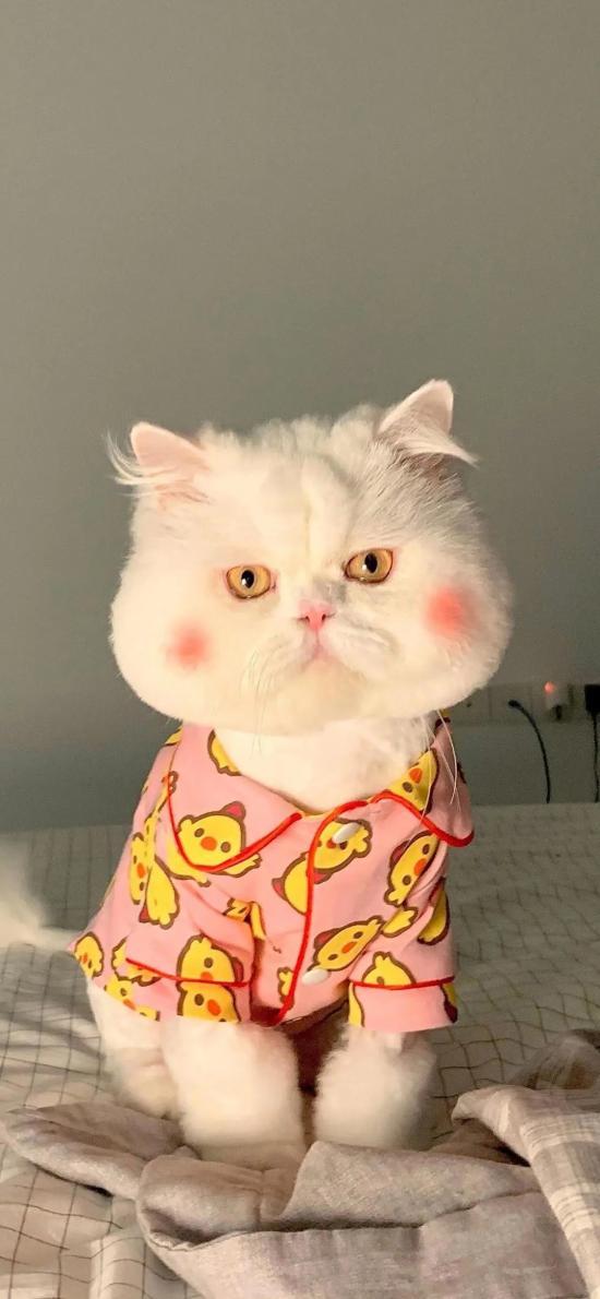 宠物 猫咪 球球 抖音网红猫