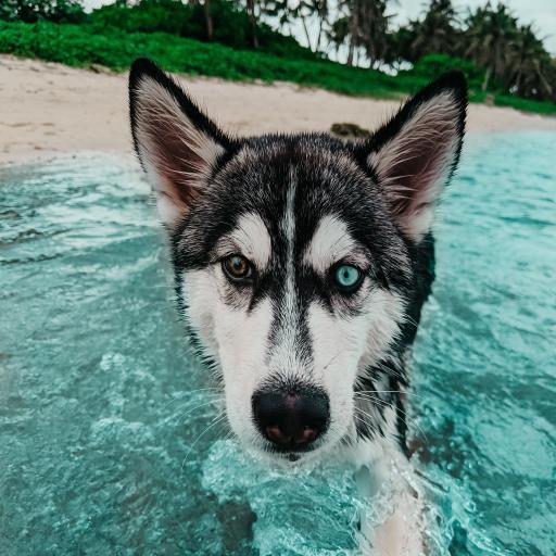 哈士奇 二哈 海水 狗 犬 宠物
