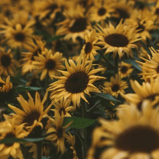 向日葵 鲜花 盛开 花海