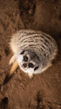 狐獴 猫鼬 哺乳 抬头 萌
